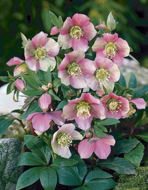 helleborus orientalis 39 ballards hybrids 39 gebr alkemade bv. Black Bedroom Furniture Sets. Home Design Ideas