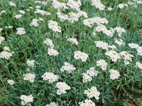 Achillea ageratifolia