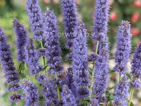 Agastache hybride 'Blue Fortune'
