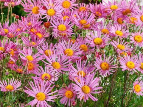 Chrysanthemum r. hybr. 'Clara Curtis'