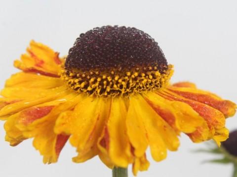 Helenium hybride 'Carmen'