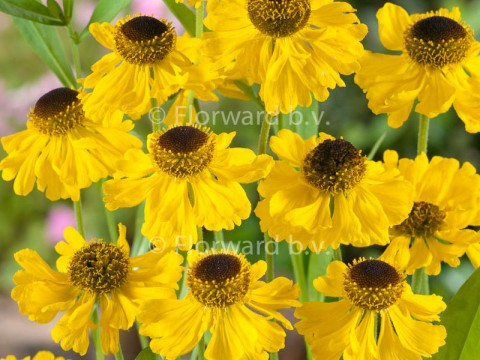 Helenium bigelovii 'The Bishop'