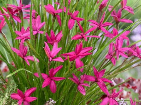 Rhodohypoxis 'Beverly'PBR