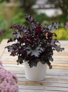 Heuchera L. 'Dark Secret' EU 26601