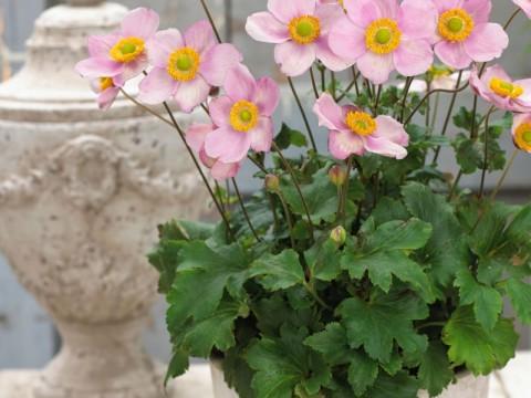 Anemone hybrida 'Pink Kiss'PBR' EU 41492