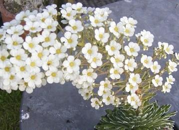 Saxifraga callosa Icequeen ('HIL201206'PBR)