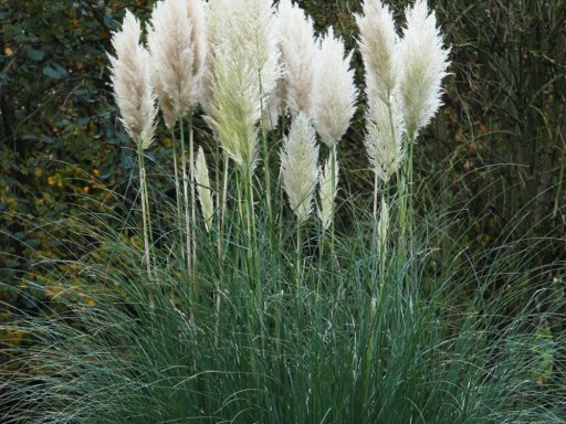 Cortaderia 'White Feather'