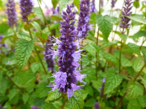 Agastache rugosa 'Little Adder'PBR