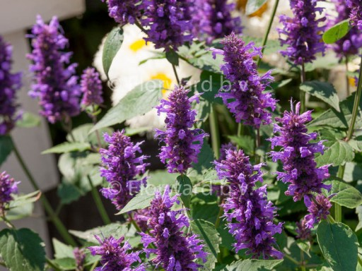 Agastache hybride 'Blue Boa'PBR
