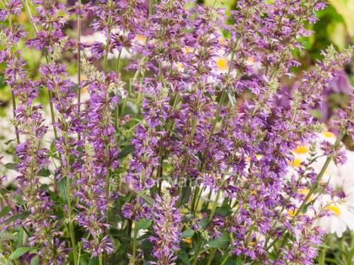 Agastache hybride 'Purple Haze'