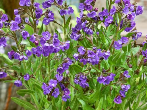 Anchusa azurea 'Loddon Royalist'