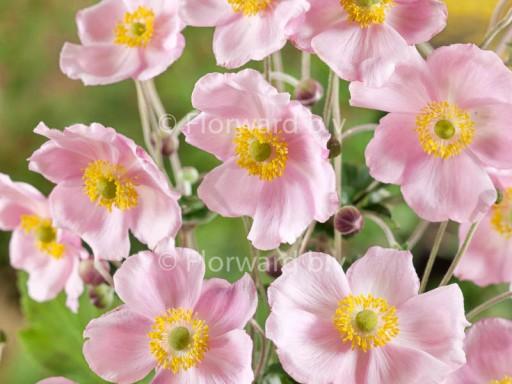 Anemone hybrida 'Richard Ahrens'