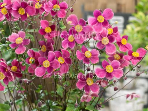 Anemone hupehensis 'Splendens'