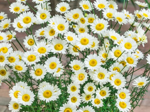 Anthemis 'Sauce Hollandaise'