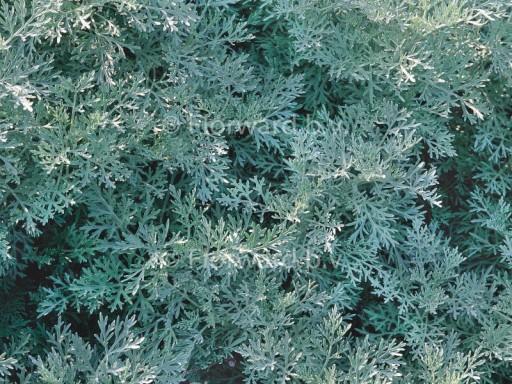 Artemisia arborescens 'Powis'