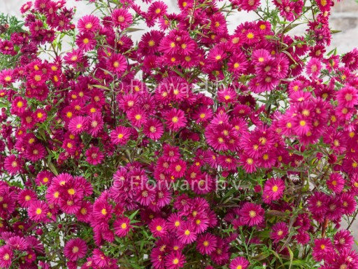 Aster novi belgii 'Crimson Brocade'