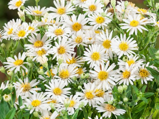 Aster ageratoides 'Starshine'PBR
