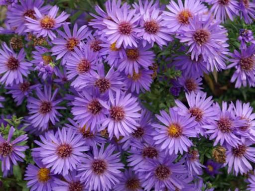 Aster hybride 'Wood's Purple'