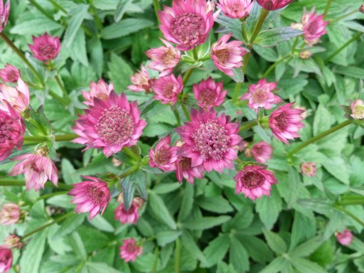 Astrantia major 'Milano'©