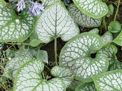Brunnera macrophylla 'Jack Frost'PBR