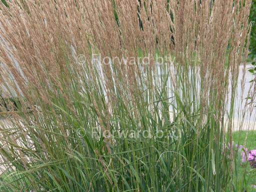 Calamagrostis acut. 'Karl Foerster'
