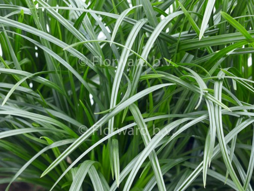 Carex 'Irish Green'