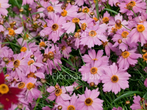 Coreopsis 'Limerock Passion'PBR