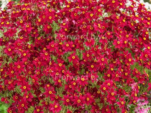 Coreopsis 'Limerock Ruby'PBR