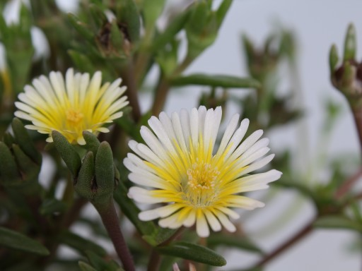 Delosperma Wheels of Wonder 'Limoncello'PBR