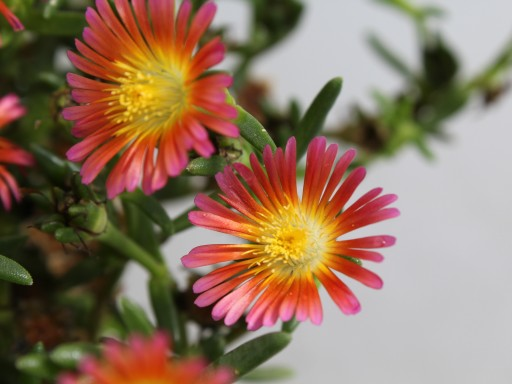 Delosperma Wheels of Wonder 'Salmony Pink'PBR