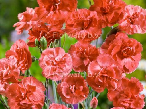 Dianthus plum. 'Diana'