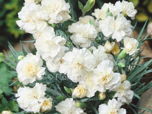 Dianthus plum. 'Haytor White'