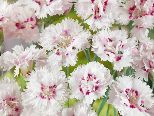 Dianthus plum. 'Ine'