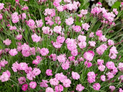 Dianthus grat. 'Pink Jewel'