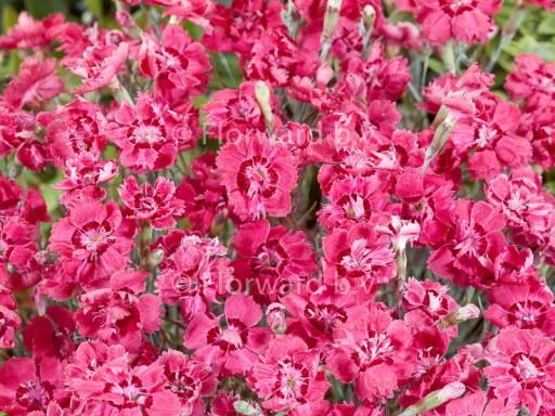 Dianthus grat. 'Rotkäppchen'
