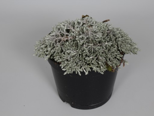 Helichrysum 'Country Park Silver'