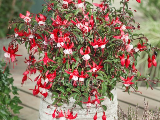 Fuchsia 'Madame Cornellissen'