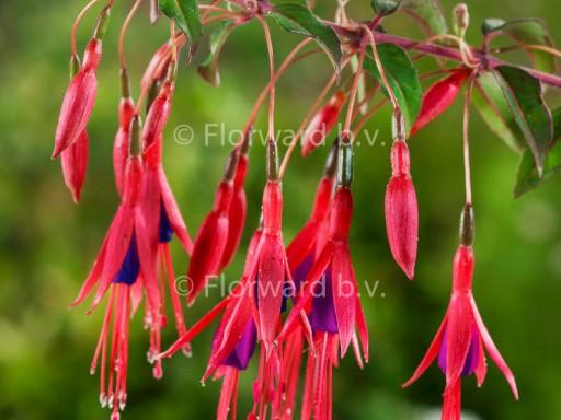 Fuchsia magellanica 'Gracilis'