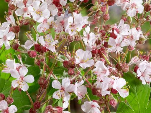Geranium cant. 'Biokovo'