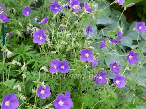 Geranium hybride 'Brookside'
