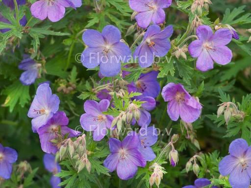 Geranium hybride 'Johnson's Blue'