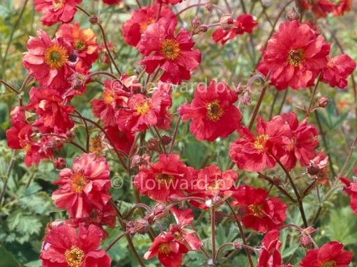 Geum 'Flames of Passion'PBR EU 10073