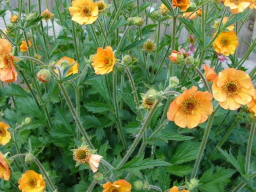 Geum 'Totally Tangerine'PBR EU 30066