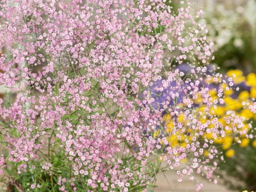 Gypsophila paniculata 'Pink Festival'