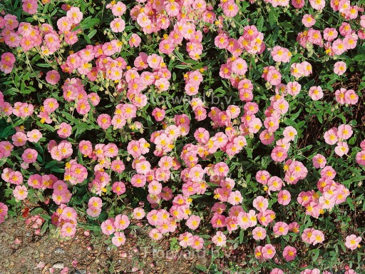 Helianthemum hybr. 'Lawrenson's Pink'