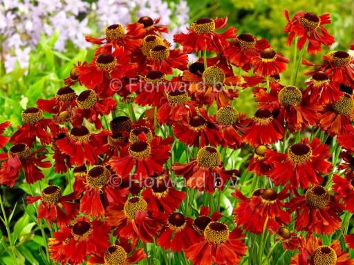 Helenium hybride 'Moerheim Beauty'