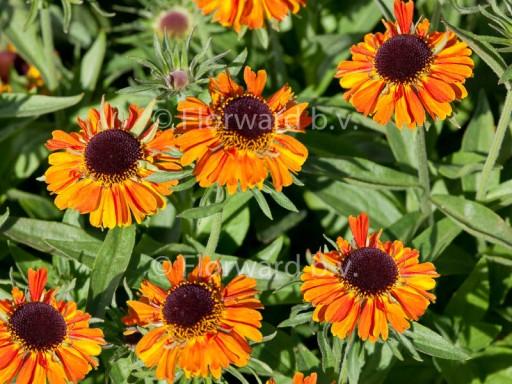 Helenium autumnale L. 'Short 'n' Sassy'PBR
