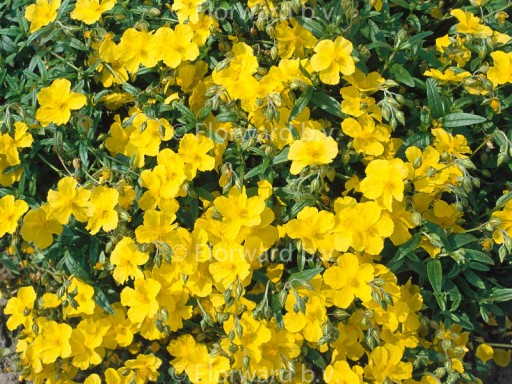 Helianthemum hybr. 'Golden Queen'