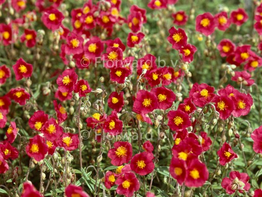 Helianthemum hybr. 'Hartswood Ruby'PBR