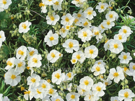 Helianthemum hybr. 'The Bride'